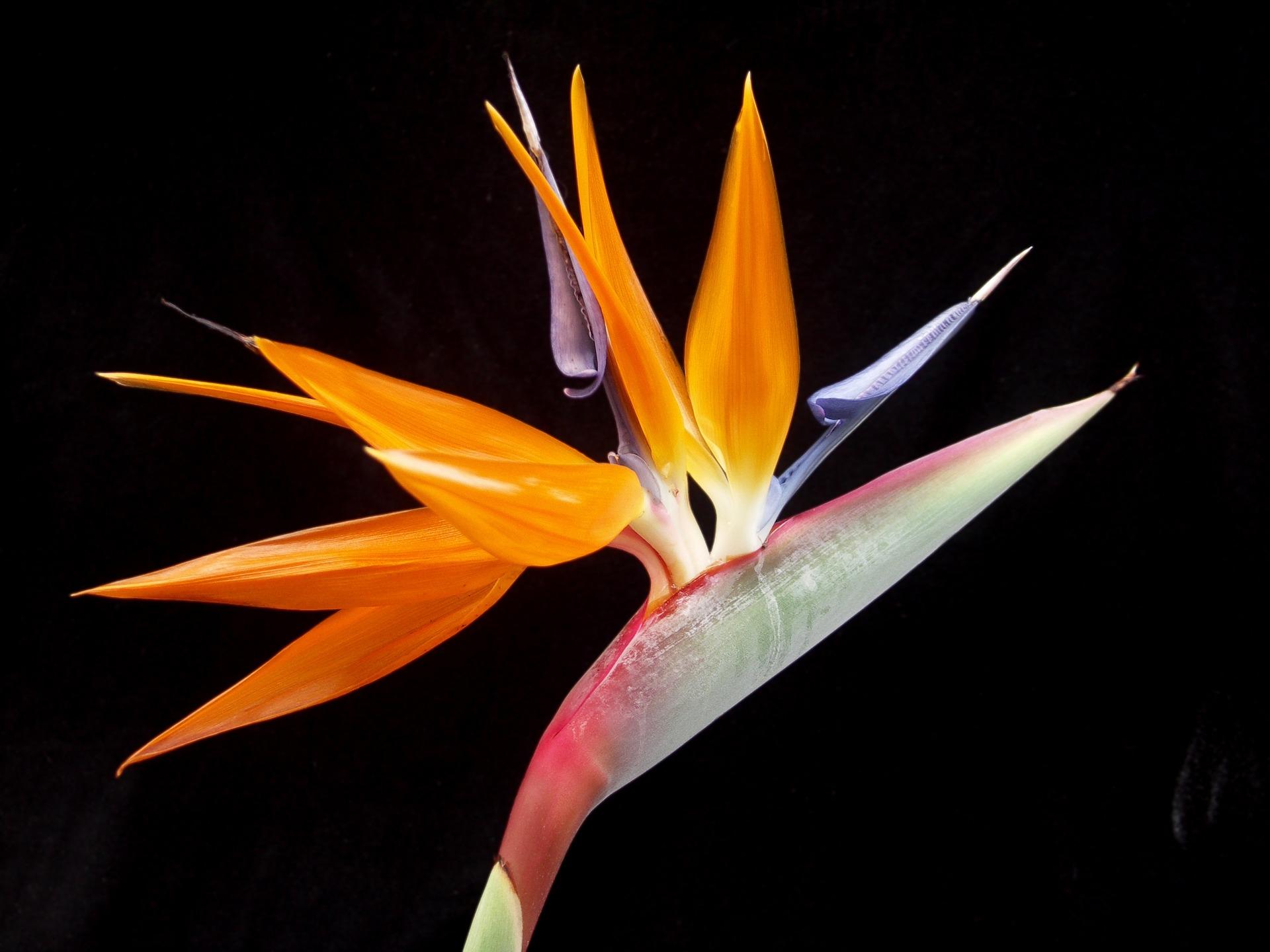 Hawaiian flowers birds of paradise