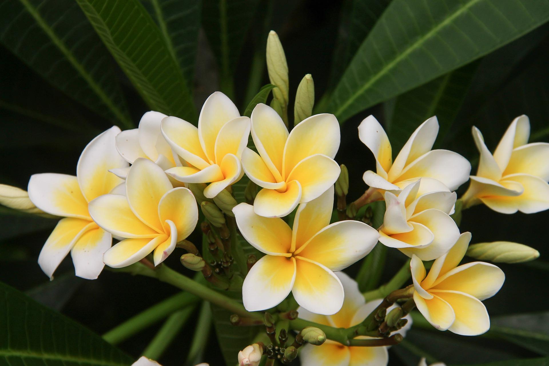 Hawaiian flowers frangipani
