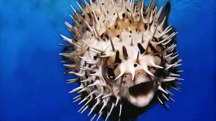 In a new study published by Cell Press, scientists have identified the genes that give pufferfish their spiky skin structures known as spines.