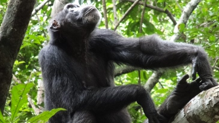 A team of researchers set out to compare the spatial movement patterns of human foragers and chimpanzees in similar rainforest environments.