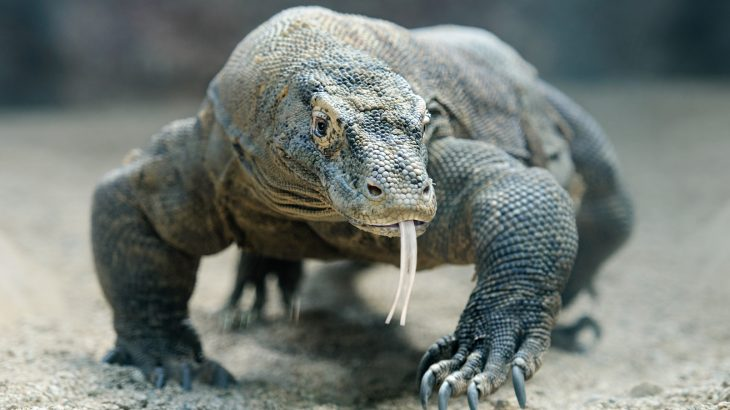A study led by the Gladstone Institutes has produced the first high-resolution genome sequence of the Komodo dragon.