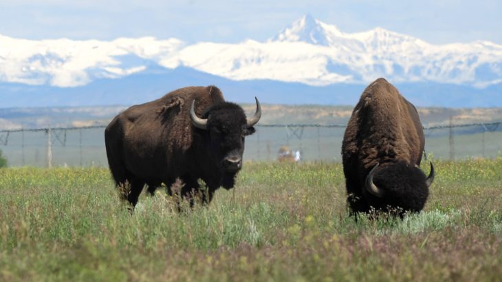 Recently, an agreement was made between the Fort Peck Tribes and the Eastern Shoshone of the Wind River Reservation to reintroduce bison to the land.