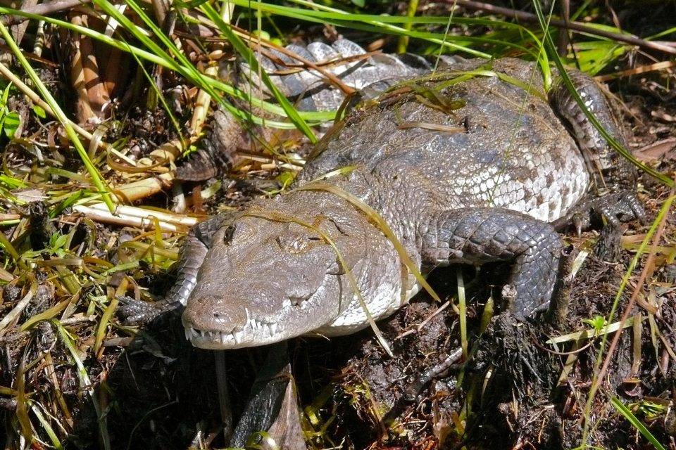 For a while there, it looked like time was running out for the American crocodile population in the United States.