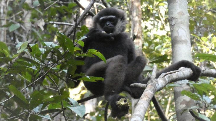 A new study suggests that gibbons in southern Borneo are even more vulnerable to habitat loss than what was previously realized.