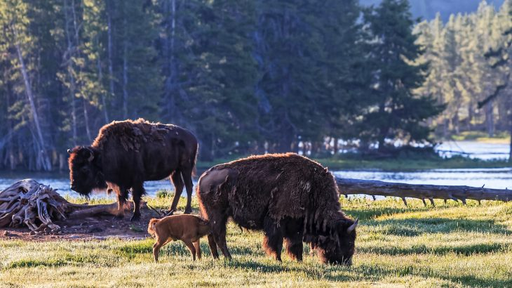 A group of approximately 50 people were crowding the bison, standing within 5 to 10 feet of it for at least 20 minutes before it attacked.