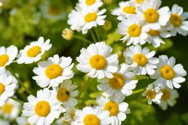 A compound with anti-cancer properties can be produced directly from a common flowering plant in the daisy family known as feverfew.