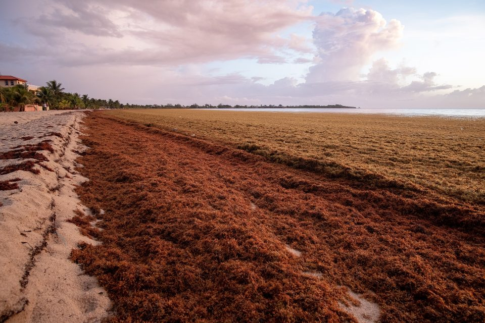 Enormous quantities of Sargassum seaweed have washed up on the shores in these areas, creating a nasty smell and attracting flies as it rots in the sun.