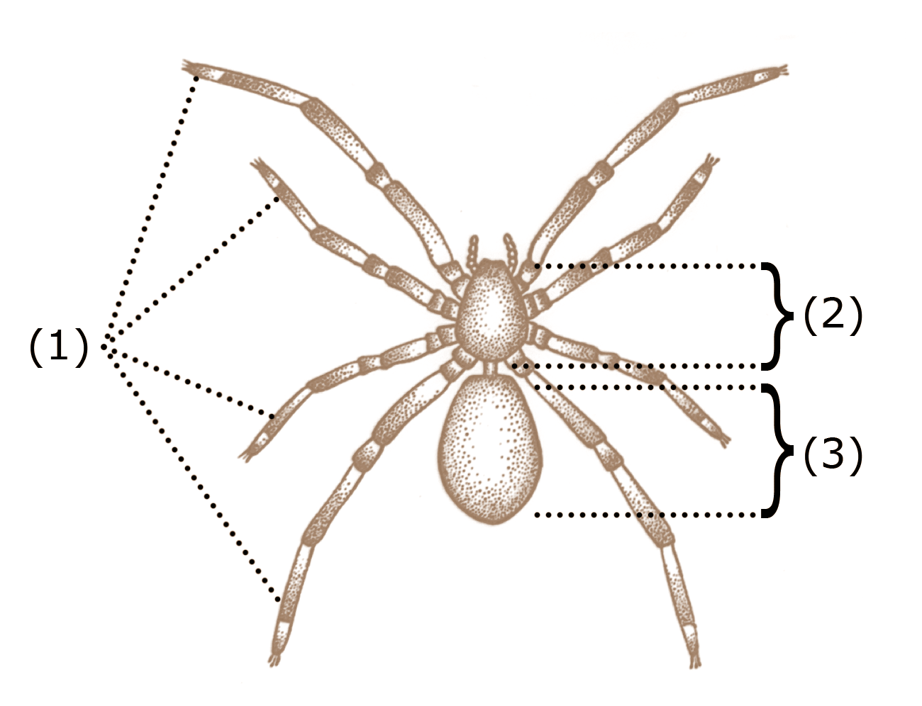 Are spiders insects, Spider anatomy