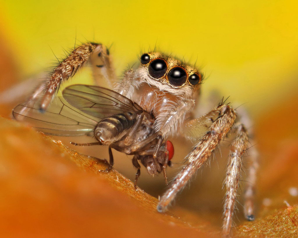 are spiders insects, jumping spider