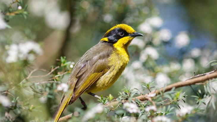 Researchers set out to investigate the damage that results from inbreeding among the critically endangered Helmeted Honeyeater species.
