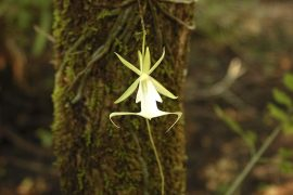 The ghost orchid not only has a mysterious name, but has also been a very mysterious plant until recently when one of its secrets was revealed.