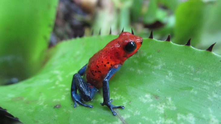 Poisonous frogs called strawberry frogs that once thrived in shady forest habitats now live sunny fields and pastures due to clearing for farmland.