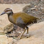 A Guam Rail walking on stones with a banded leg.