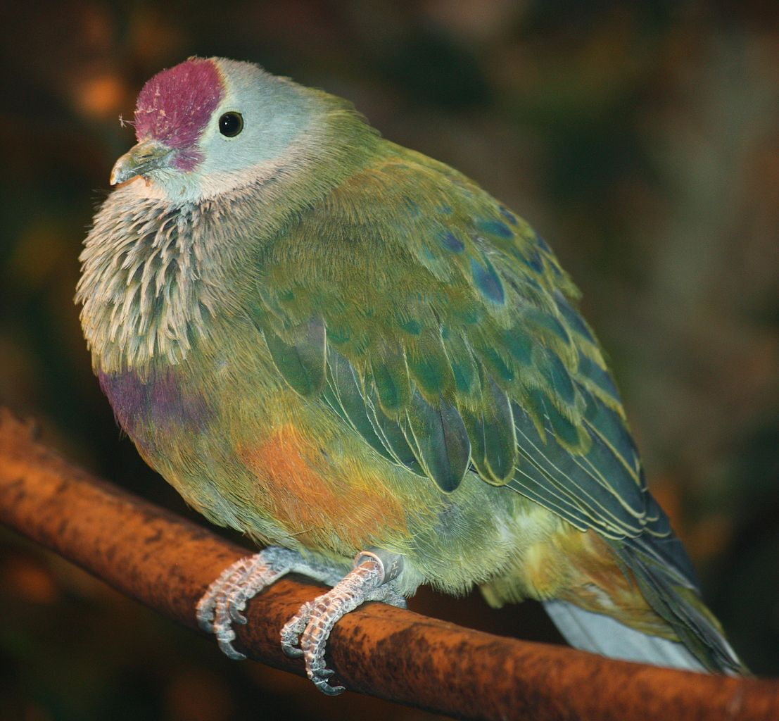 Most interesting state birds, Mariana Fruit Dove