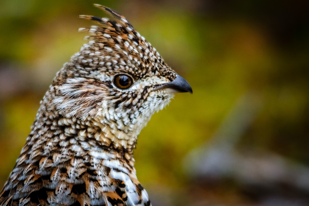 Most interesting state birds, Ruffed Grouse