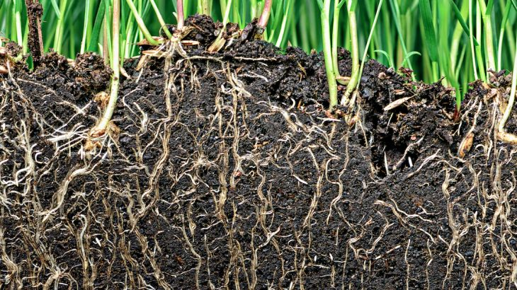 In a process known as gravitropism, the roots learned to follow gravity so they could anchor in the soil and gain access to water and nutrients.