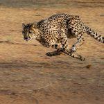 animal sounds, cheetah