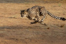 animal sounds, cheetah