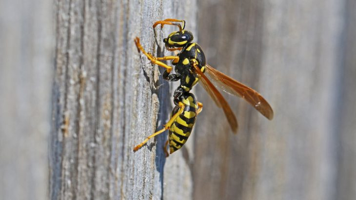 Researchers found that body mass, wing area, and head width all decreased through the years, and the wasp got smaller and smaller in response to changes in temperature.