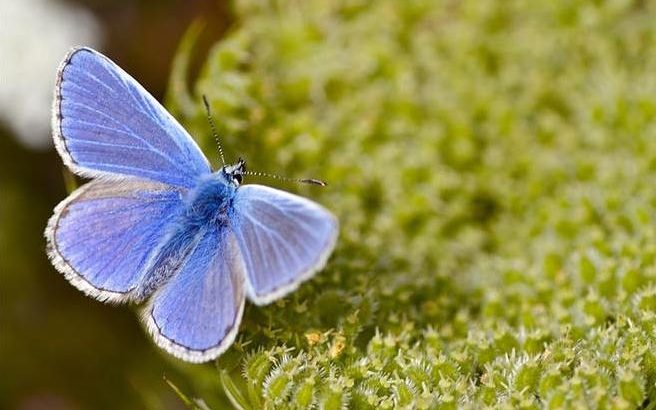 "Butterfly Conservation is reporting that a striking blue butterfly may have its ""best summer ever"" after dwindling over the last four decades."