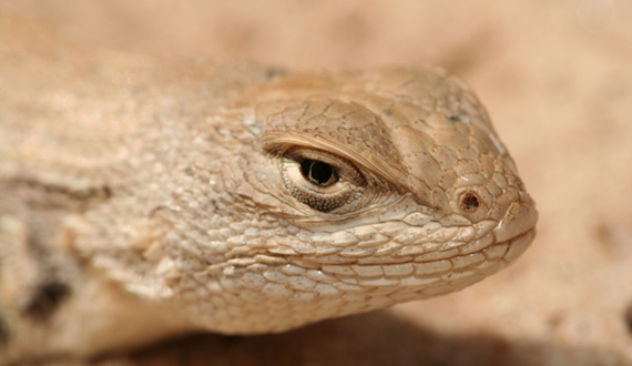 A closer look at the plight of the dunes sagebrush lizard and the failure of the government to act on its behalf.