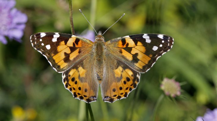 In the UK, millions of painted lady butterflies have been sighted in what is believed to be a phenomenon that only occurs about once per decade.
