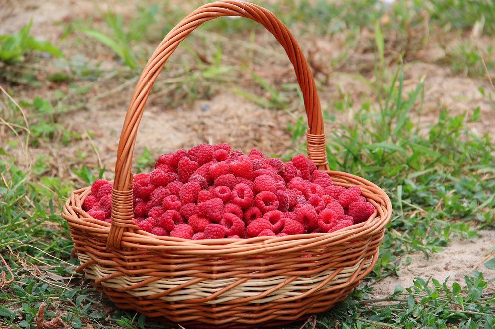raspberry picking basket