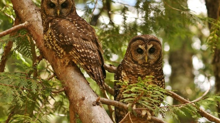 Despite the long-term preservation of this habitat within Washington's Mount Rainier National Park, the Northern Spotted Owl has declined drastically in the last two decades.