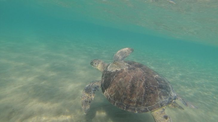 A green turtle swims off the coast of Cyprus. Green turtles are more likely to eat plastic if it looks like their food, a new study has found. (Image credit: Emily Duncan, University of Exeter)