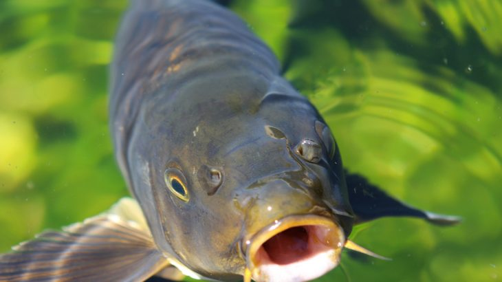 A new modeling stud has revealed that Asian carp are capable of surviving in much larger areas of Lake Michigan than what was previously realized.