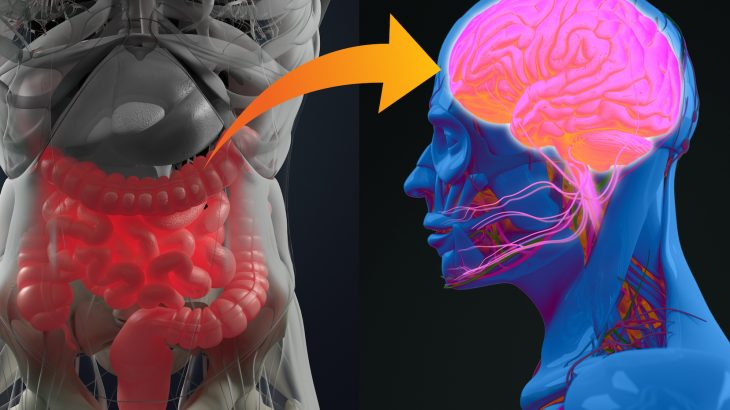 According to a new study, a previously unknown connection between the gut and the brain helps explain why overeating leads to weight gain.
