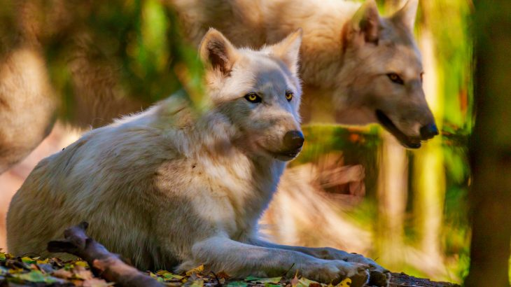The Washington Department of Fish and Wildlife authorized the killing of wolf pack members involved in preying on cattle in northeastern Washington.