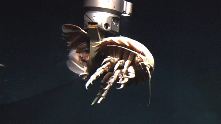 You can call them poor unfortunate souls if you like. But really, the approximately 16 species of giant deep sea isopod have it pretty good.