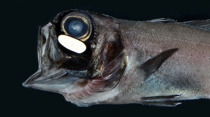 According to a new study, flashlight fish use bioluminescent organs located under its eyes to maintain their schools at night.
