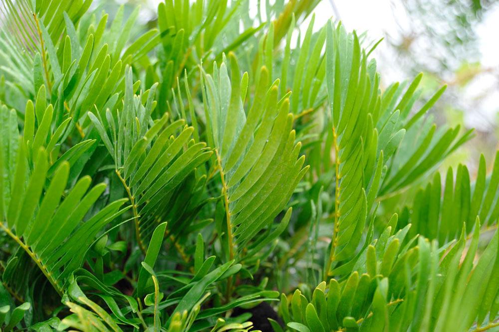 coontie palm zamia pumila cycad