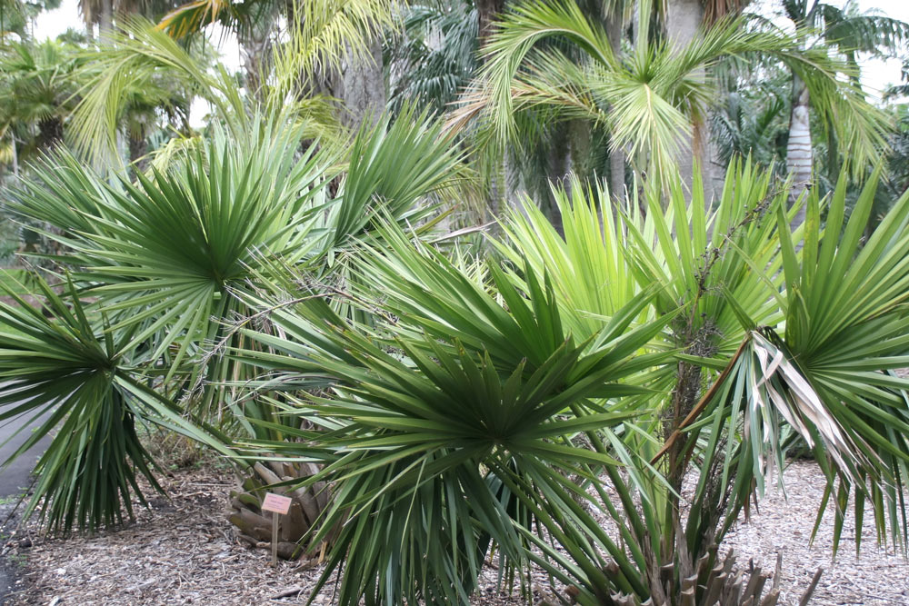 sabal minor dwarf palmetto palm