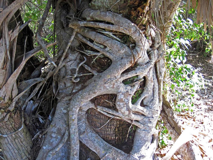 florida strangler fig ficus aurea