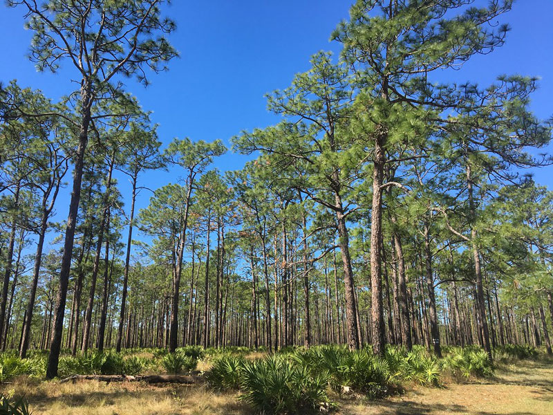 longleaf pine pinus palustris savannah