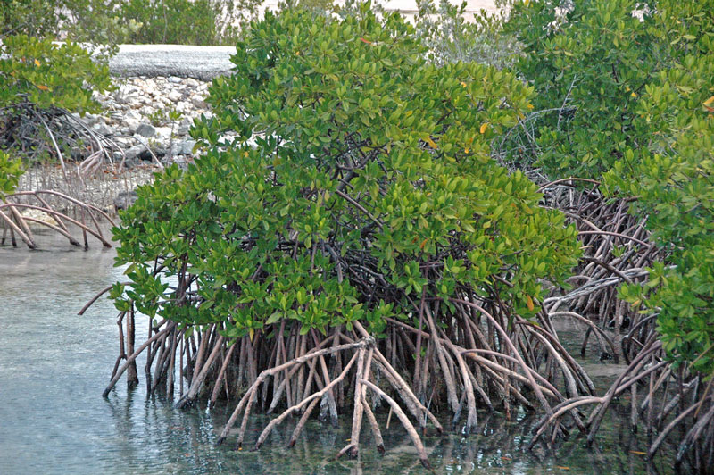 red mangrove rhizophora mangle