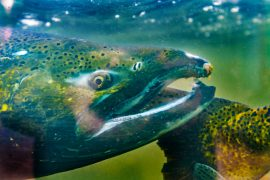 A new study suggests that increasing the abundance of a threatened salmon can be very beneficial to people living in the Pacific Northwest.