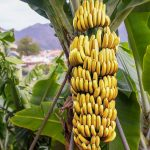 Colombia has declared a national emergency after a destructive fungus was found in the soil that could ultimately wipe out most large banana farms, leading to major shortages.