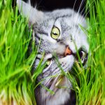 For cats, eating grass is a behavior held over from earlier generations, according to a new study.