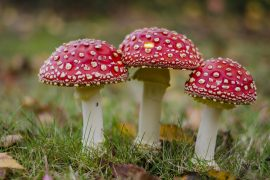 Three Amanita muscaria or fly agaric fruiting bodies. These show red caps with whites spots.