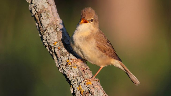 Researchers have discovered that migratory birds essentially risk their lives for some good sleep when they need it the most.
