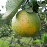 By the time that symptoms of the lethal bacterial infection appear, it is too late to save crops from the lethal damage of citrus greening.