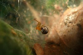 Extreme weather events may drive evolutionary changes in spiders, according to a new study.