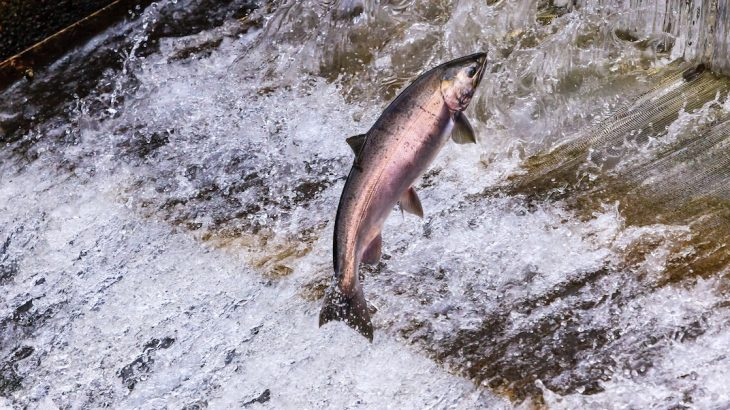 Dam removal on rivers in Washington would benefit declining salmon populations as well as orcas who eat them, but it might also threaten wheat farmers.