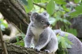 Research shows that the fecal inoculations actually changed the koalas' microbiomes and allowed them to eat messmate.
