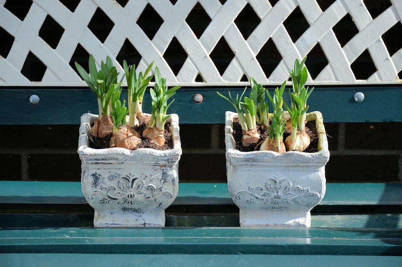 lily bulb pot plant