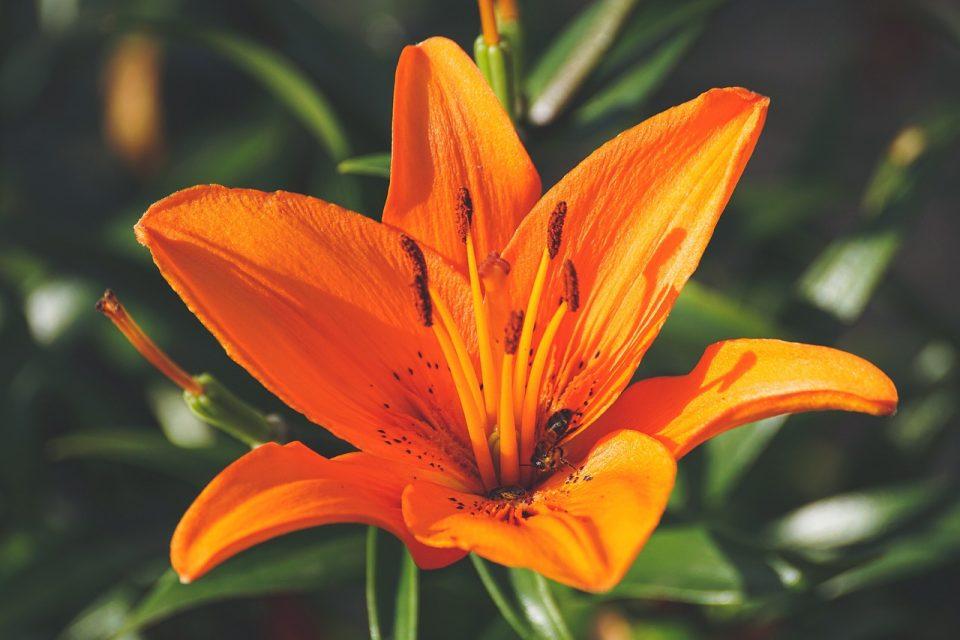 lily flower orange